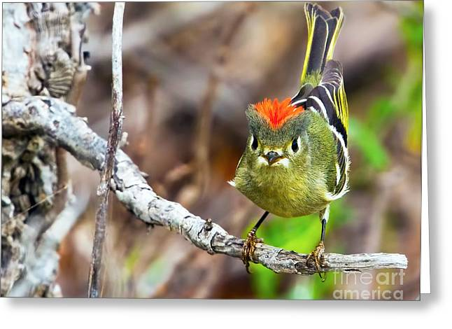 Ruby-crowned Kinglet Birds Greeting Cards - Flashing It Greeting Card by Gary Holmes