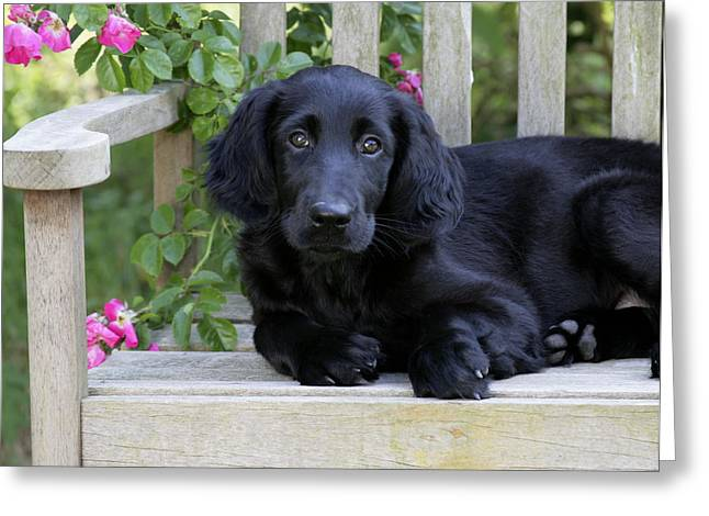 Breeds Greeting Cards - Flat-coated Retriever Puppy Greeting Card by John Daniels
