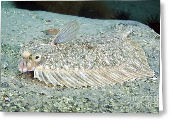 Flatfish Greeting Cards - Flatfish Greeting Card by Alexander Semenov