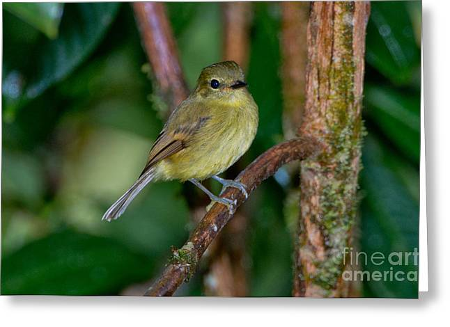 Flycatcher Greeting Cards - Flavescent Flycatcher Greeting Card by Anthony Mercieca