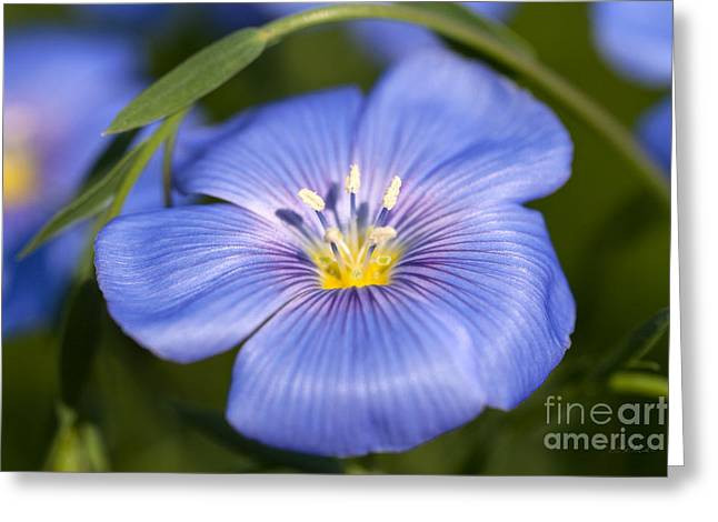 Owner Photographs Greeting Cards - Flax Flower Greeting Card by Iris Richardson