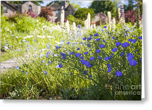Lush Green Greeting Cards - Flax flowers in summer garden Greeting Card by Elena Elisseeva