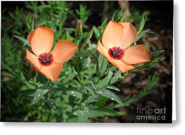 Flax Named Charmer Salmon Greeting Card by J McCombie