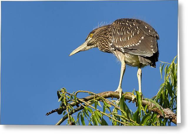 Raven Note Cards Greeting Cards - Fledgling Black-crowned Night Heron Greeting Card by Kathleen Bishop