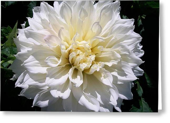 Dinner-plate Dahlia Greeting Cards - Fleurel Dahlia Greeting Card by Sharon Duguay