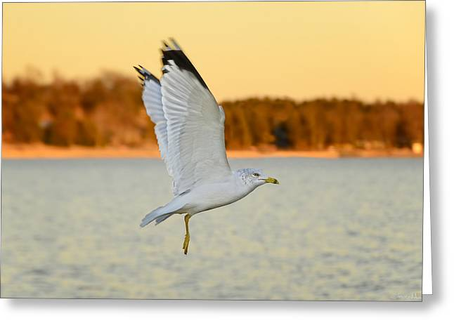 Flying Seagull Greeting Cards - Flight at Sunset Greeting Card by Steven  Michael
