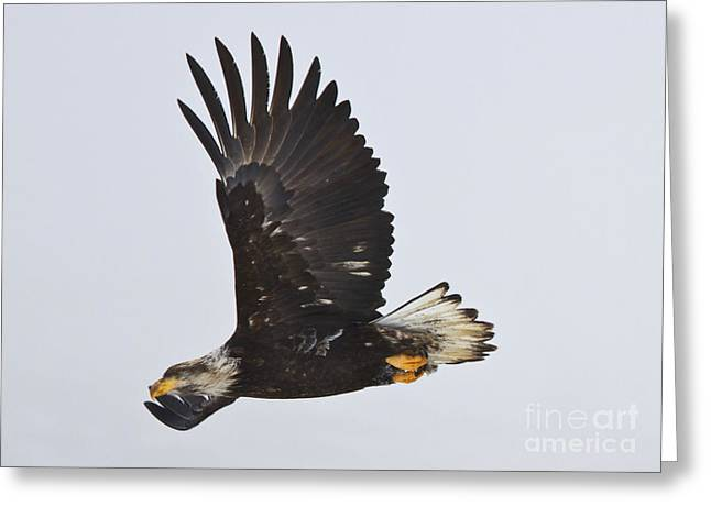 Soar Greeting Cards - Flight Greeting Card by Mike  Dawson