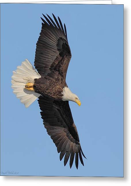 Eagle Pyrography Greeting Cards - Flight of a Bald Eagle Greeting Card by Daniel Behm