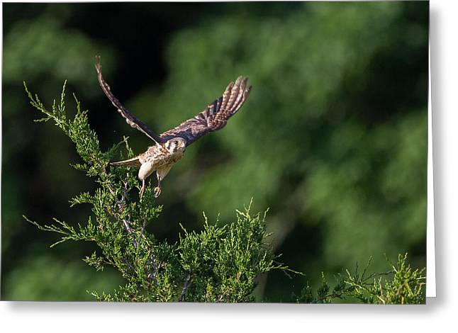 Hawks Greeting Cards - Flight of the American Kestrel Greeting Card by Bill  Wakeley