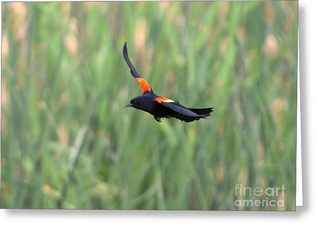Blackbirds Greeting Cards - Flight of the Blackbird Greeting Card by Mike  Dawson