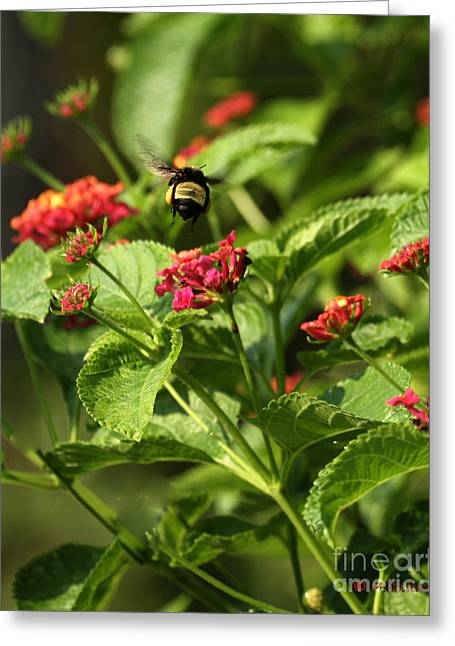 Amanda Collins Greeting Cards - Flight of the Bumble Bee Greeting Card by Amanda Collins