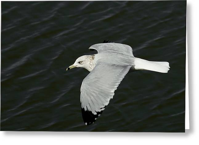 Flying Seagull Greeting Cards - Flight of the Gull Greeting Card by Ernie Echols