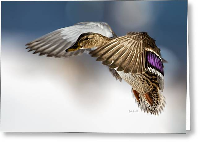 Watching Greeting Cards - Flight of the Mallard Greeting Card by Bob Orsillo