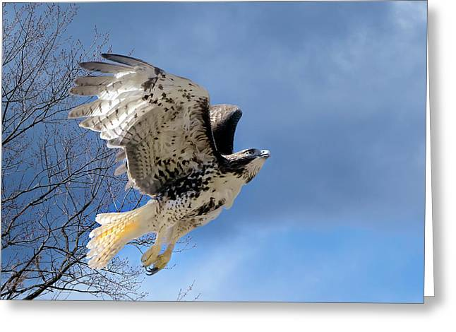 Bird In Flight Greeting Cards - Flight of the Red tail Greeting Card by Bill  Wakeley