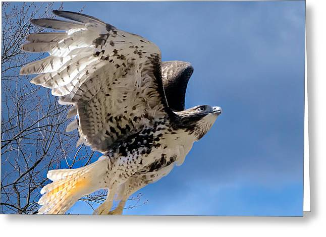 Redtailed Hawks Greeting Cards - Flight of the Red tail Square Greeting Card by Bill  Wakeley