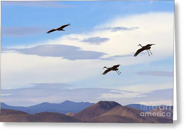 Sandhill Crane Greeting Cards - Flight of the Sandhill Cranes Greeting Card by Mike  Dawson