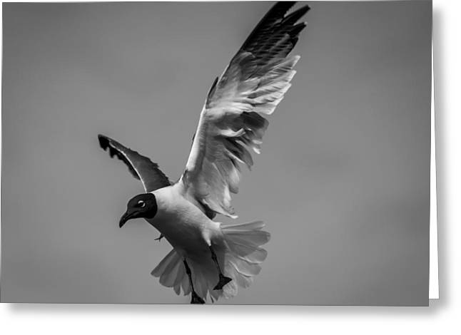 Tern Greeting Cards - Flight of the Seagulls 039 Greeting Card by Robert Mullen