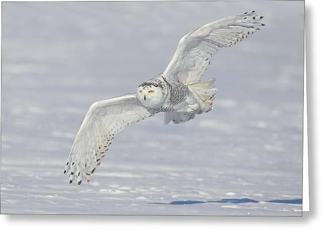 Flight Of The Snowy Greeting Card by Daniel Behm