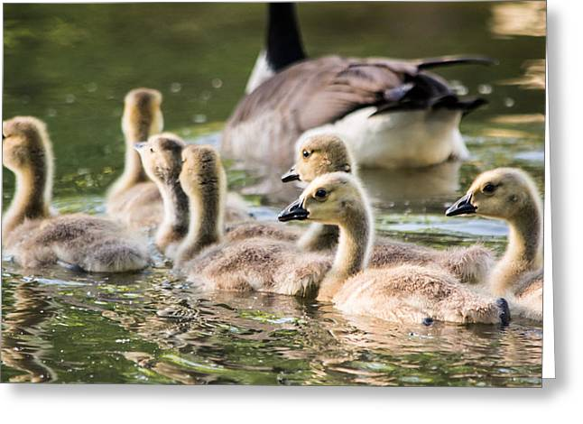 Geese Family Greeting Cards - Floating Along The Pond Greeting Card by Parker Cunningham