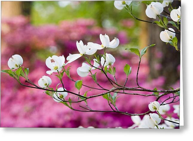 Chatham Greeting Cards - Floating Dogwood Greeting Card by Eggers   Photography