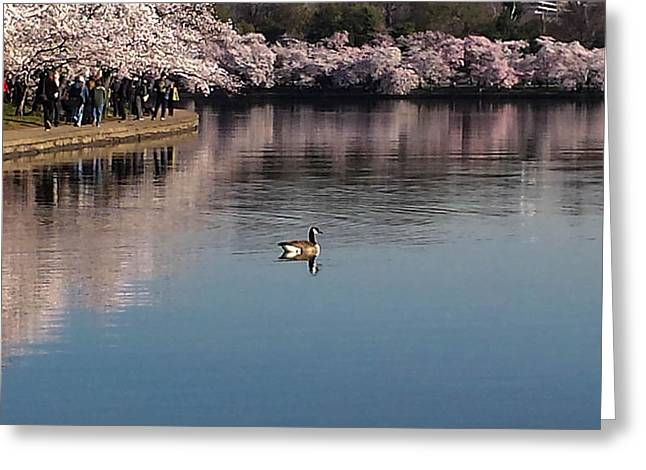 Washingtondc Greeting Cards - Floating in the Tidal Basin Greeting Card by Debra Bowers