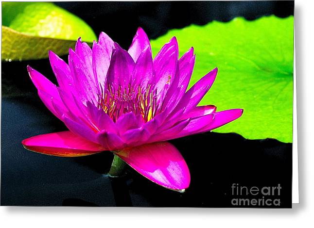 Aquatic Greeting Cards - Floating Purple Water Lily Greeting Card by Nick Zelinsky