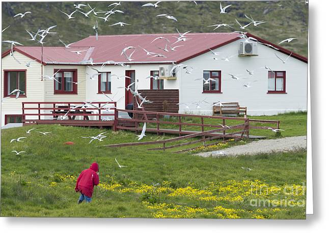 Tern Greeting Cards - Flock Of Arctic Terns Greeting Card by John Shaw