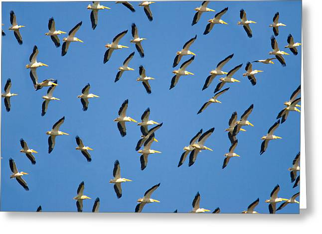 Flock Of Bird Greeting Cards - Flock Of Birds Flying In The Sky Greeting Card by Panoramic Images
