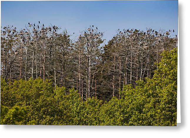 Flock Of Cormorant Birds Perching Greeting Card by Panoramic Images