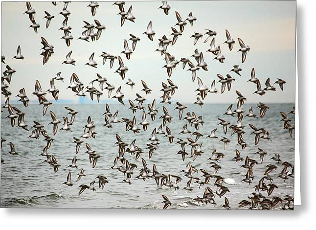 Connecticut Wildlife Greeting Cards - Flock of Dunlin Greeting Card by Karol  Livote