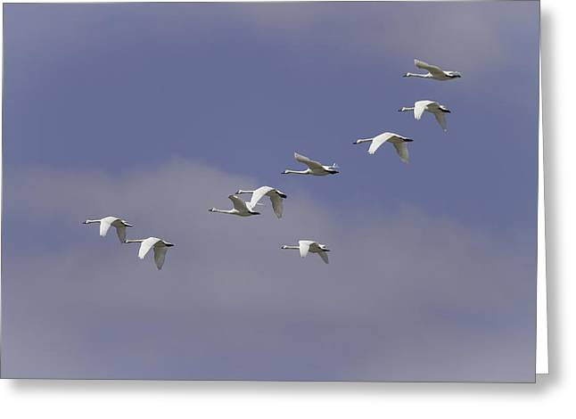 Flying Swan Greeting Cards - Flock Of Flying Tundra Swans Greeting Card by Thomas Young