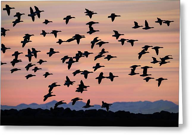 Wildlife Sunset Greeting Cards - Flock Of Geese Flying At Sunset Greeting Card by Panoramic Images