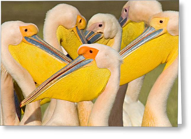 Flock Of Bird Greeting Cards - Flock Of Great White Pelicans, Lake Greeting Card by Panoramic Images