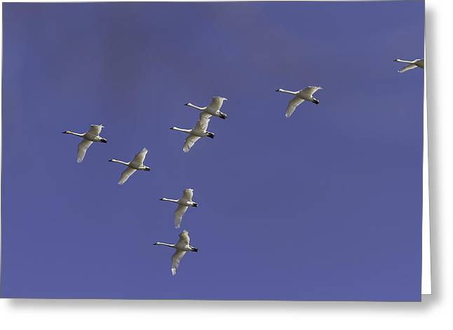Flying Swan Greeting Cards - Flock Of Migrating Tundra Swans Greeting Card by Thomas Young