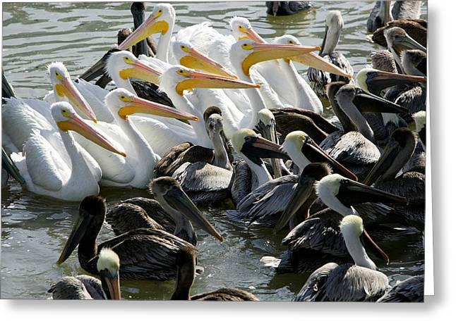 Galveston Greeting Cards - Flock Of Pelicans In Water, Galveston Greeting Card by Panoramic Images