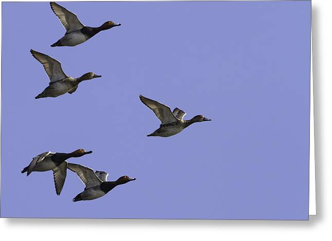 Flocks Of Ducks Greeting Cards - Flock Of Readheads Greeting Card by Thomas Young