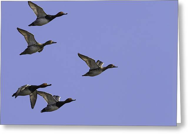 Flock Of Readheads Greeting Card by Thomas Young