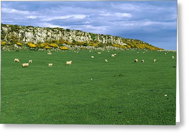 Scar Greeting Cards - Flock Of Sheep At Howick Scar Farm Greeting Card by Panoramic Images