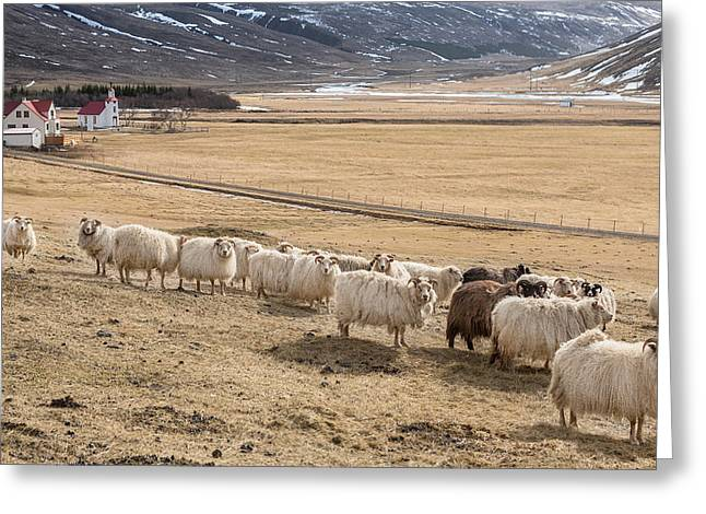 Sheep Photographs Greeting Cards - Flock Of Sheep, Iceland Greeting Card by Panoramic Images