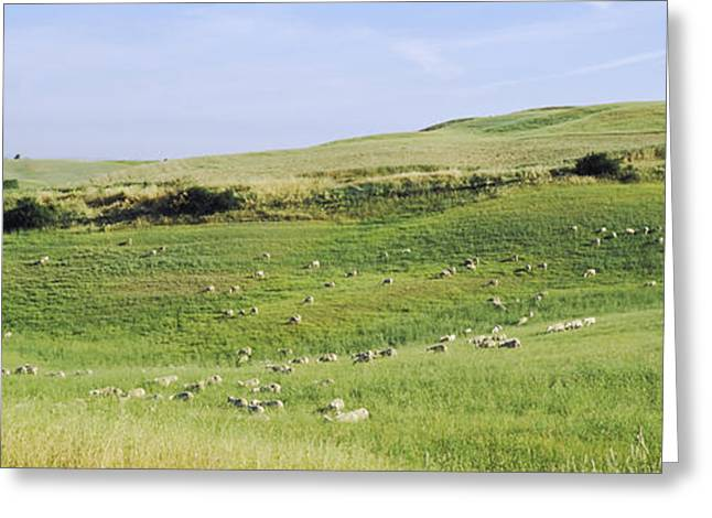 Pasture Scenes Greeting Cards - Flock Of Sheep In A Field, Tuscany Greeting Card by Panoramic Images