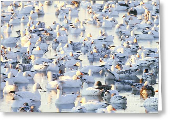 Water Fowl Greeting Cards - Flock Of Snow Geese At Rest Greeting Card by Art Wolfe