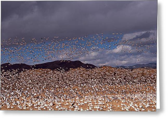 Zoology Greeting Cards - Flock Of Snow Geese Chen Caerulescens Greeting Card by Panoramic Images