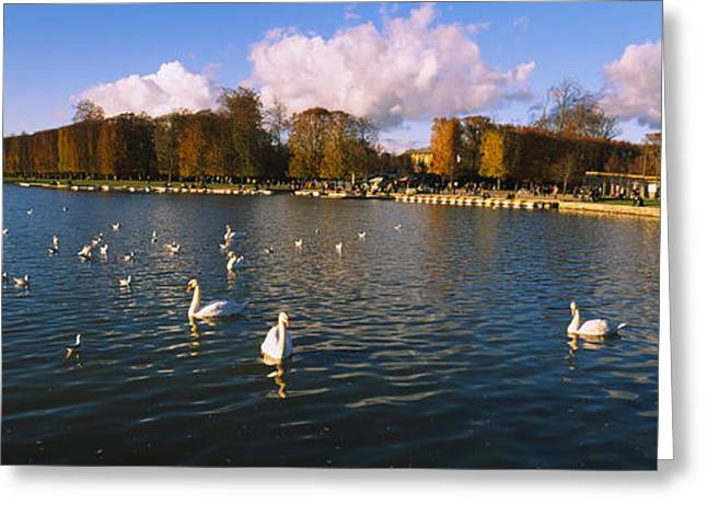 Flock Of Bird Greeting Cards - Flock Of Swans Swimming In A Lake Greeting Card by Panoramic Images
