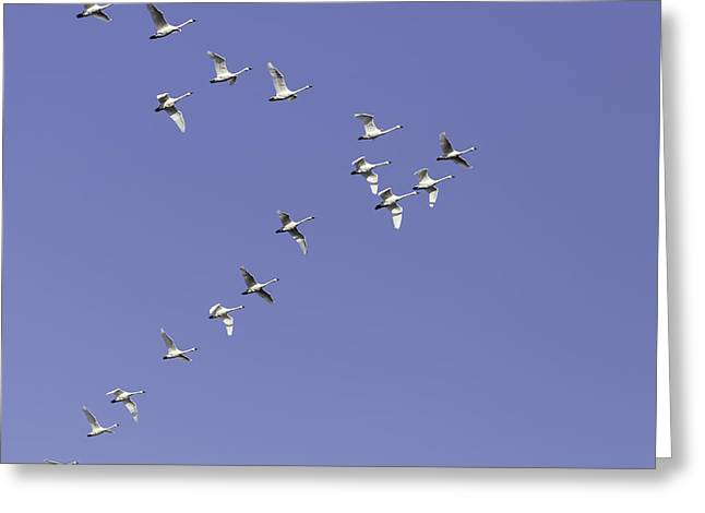 Flying Swan Greeting Cards - Flock Of Tundra Swans In Flight Greeting Card by Thomas Young
