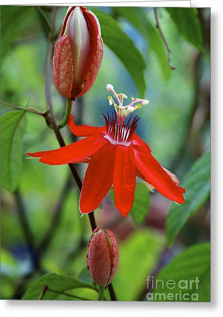 Florida Flowers Pyrography Greeting Cards - Floral 2 - 05_26_2013 Greeting Card by Eyzen M Kim