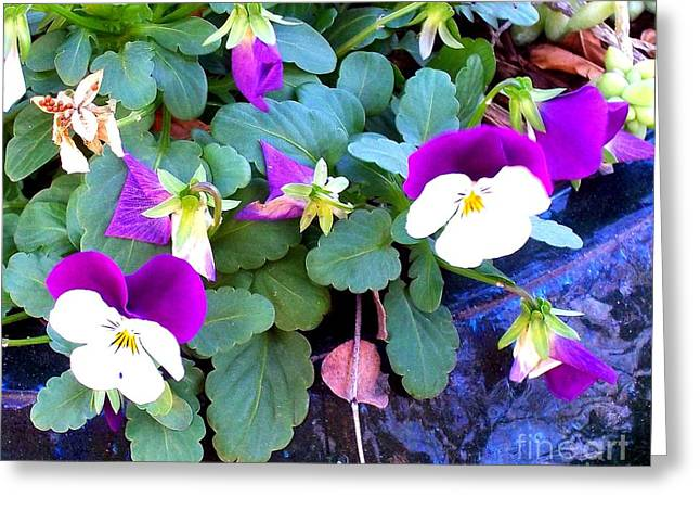 Johnny Jump Up Pansy Greeting Cards - Floral Faces Greeting Card by Victoria Beasley