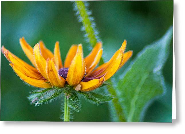 Wisconsin Wildflowers Greeting Cards - Floral Fuzz Greeting Card by Bill Pevlor