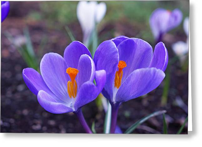 Crocus Flower Greeting Cards - Floral Garden Purple Crocus Flower Art Prints Greeting Card by Baslee Troutman