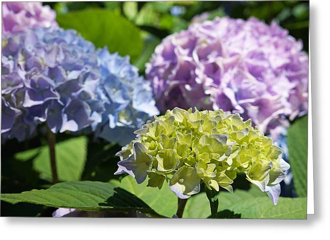 Daughter Gift Greeting Cards - Floral Photography Art Prints Hydrangeas Flowers Greeting Card by Baslee Troutman