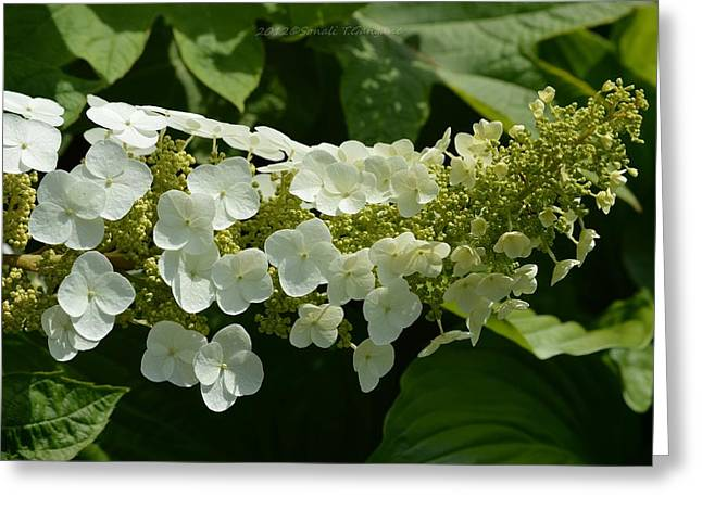 Lacecap Greeting Cards - Floret Cluster Greeting Card by Sonali Gangane